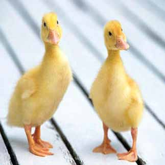 Indian Runner Ducks| from the Domestic | Waterfowl | Club