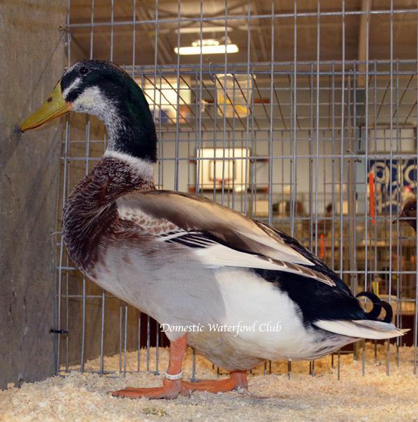 Silver Appleyard Ducks| from the Domestic | Waterfowl | Club