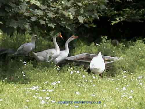 Chinese Geese | from t...